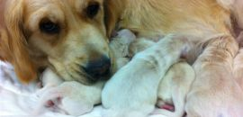 Goldens are wonderful mums...even after a ceasar!