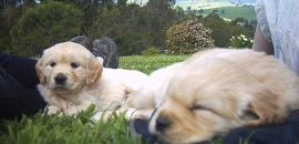 puppy selection on the grass